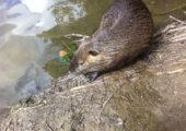 Biberratten am Mönchbruchweiher © Bene