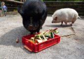 Hängebauchschweine werden gefüttert